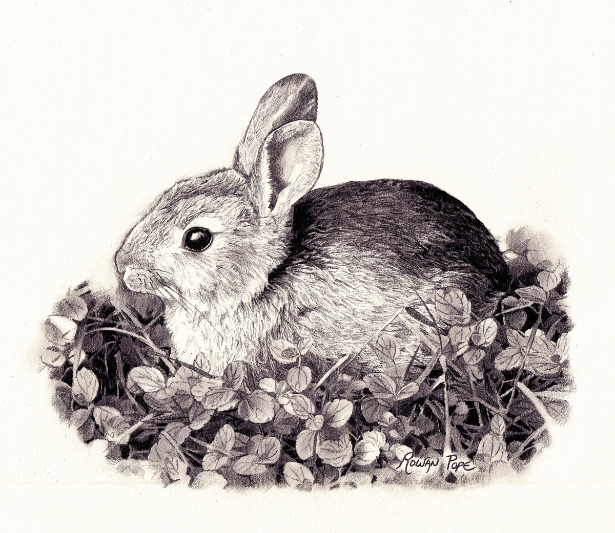 "Rabbit 2, pencil, 6"" x 7"" - by Rowan Pope"
