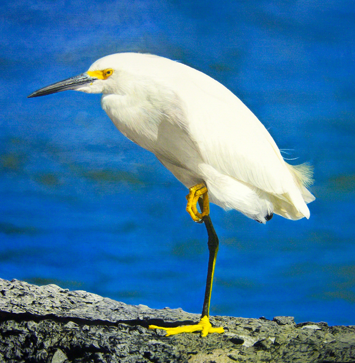 """Snowy Egret, oil, 16"""" x 16"""" - by Bly Pope"""
