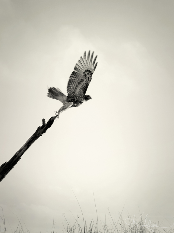 Red-Tail Hawk on Driftwood