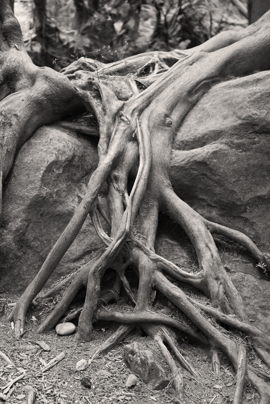 Twin Tree Roots