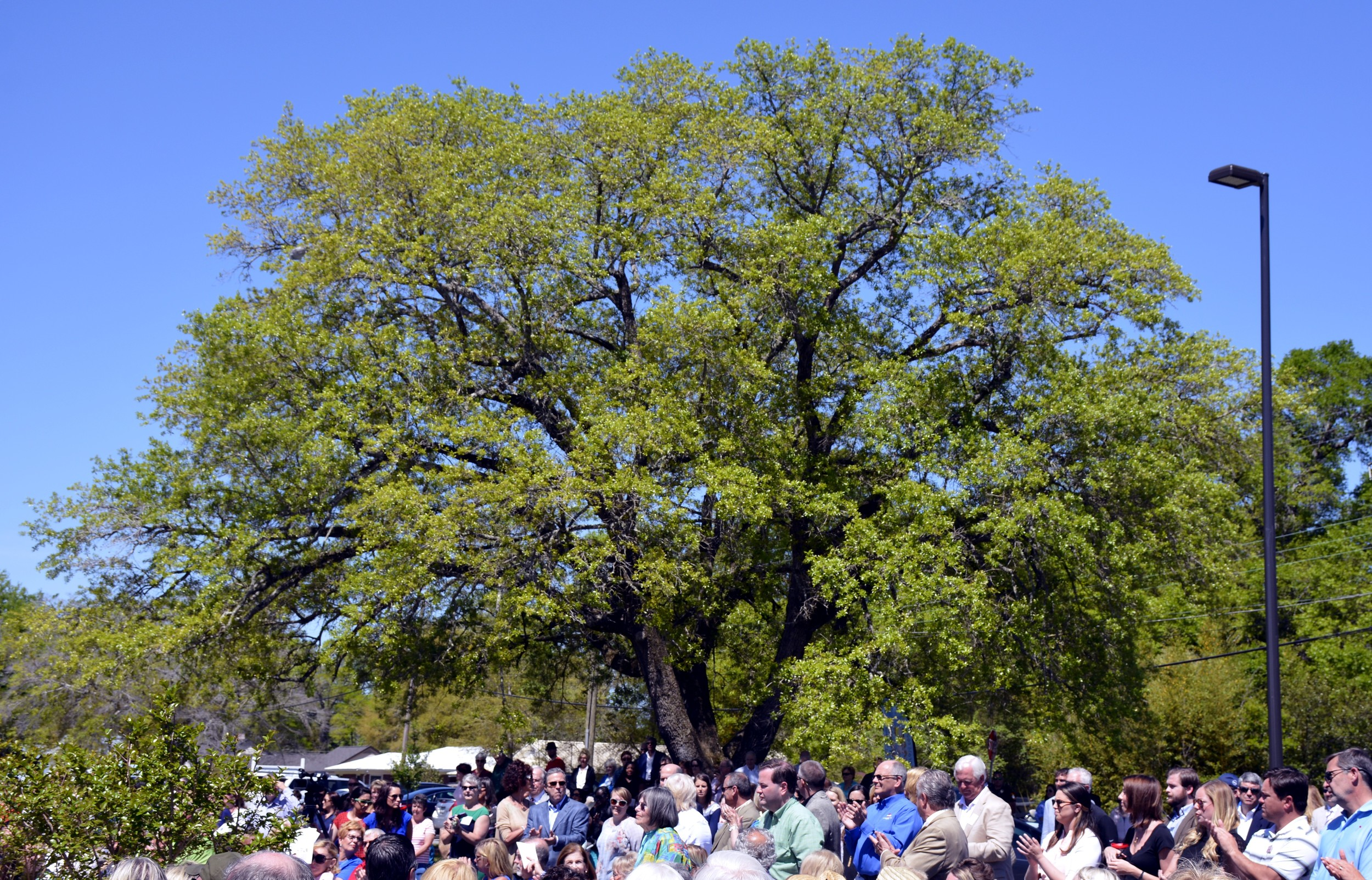 Live Oak Tree-PFCAC 2016-6.jpg