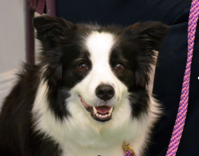 Annie border collie.png