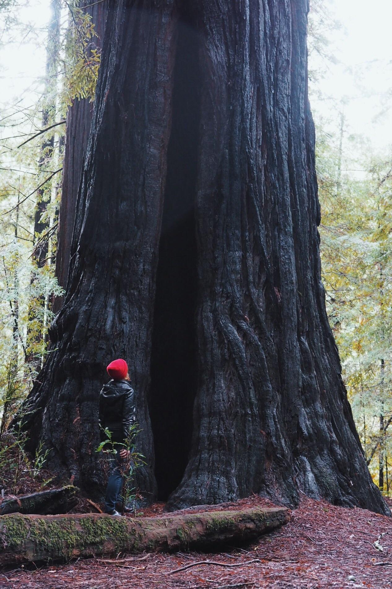 huge redwood