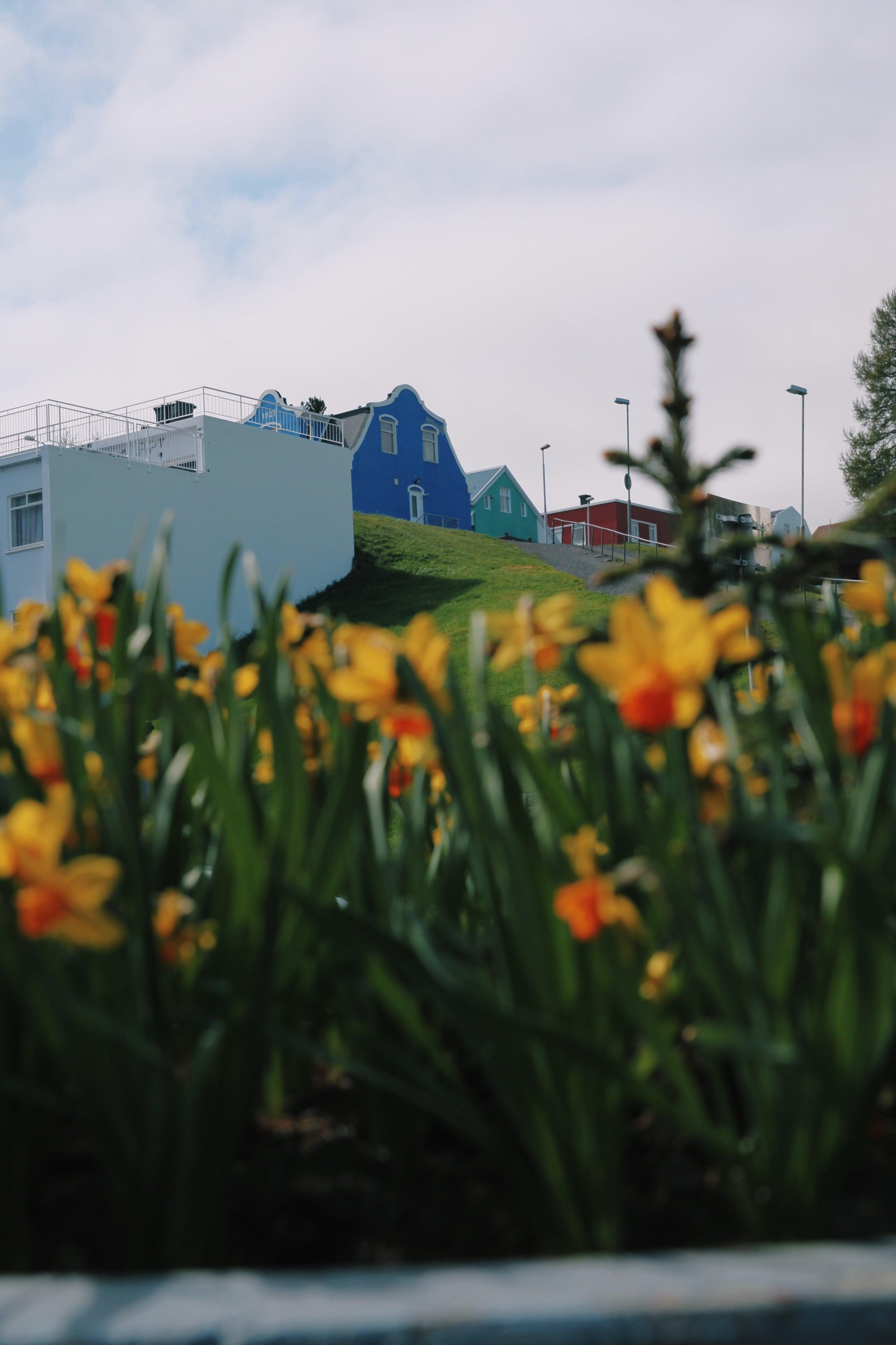 akureyri daffodils