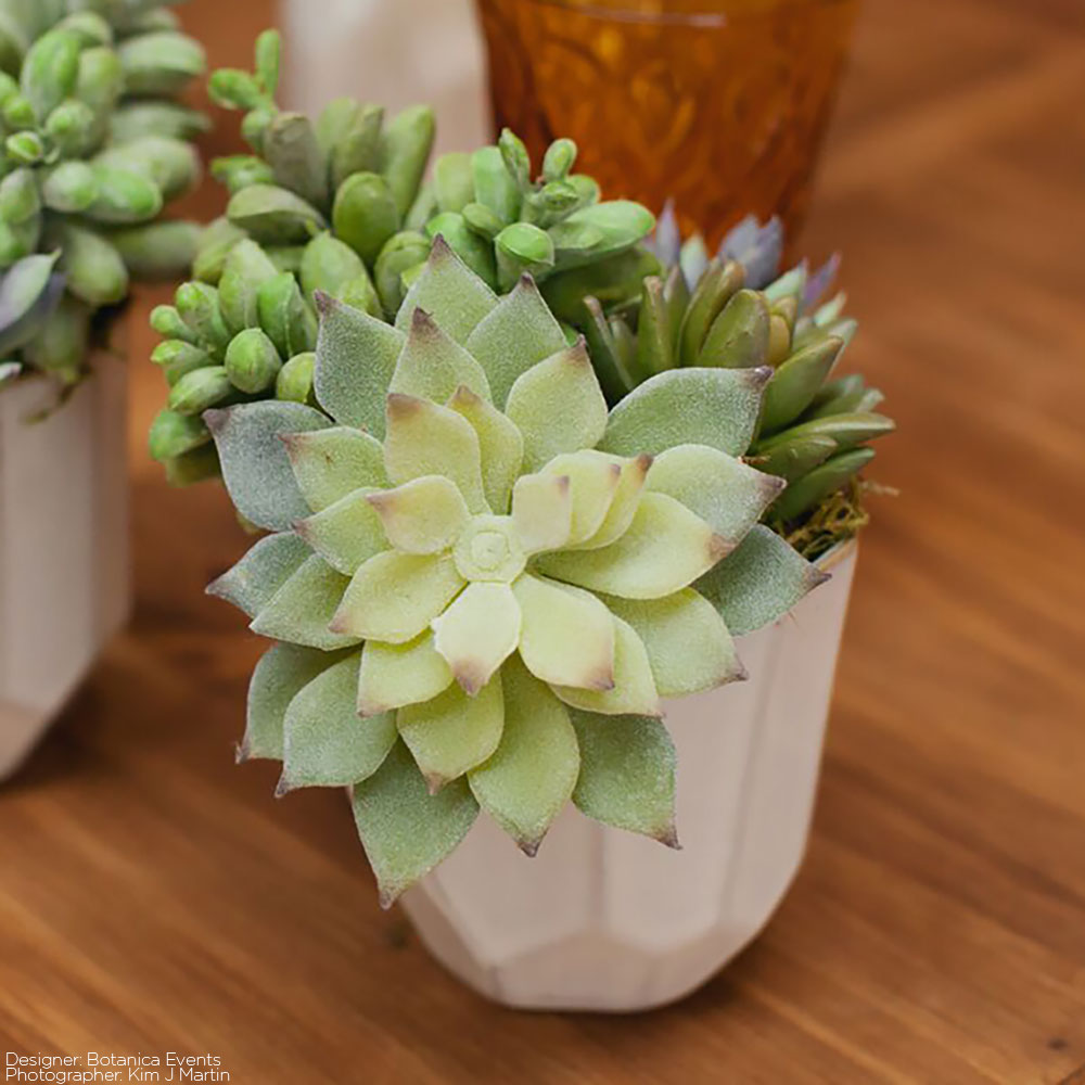 Mini-Echeveria-Cactus-in-Flocked-Green-3-5-Tall_thumbnail-1.jpg