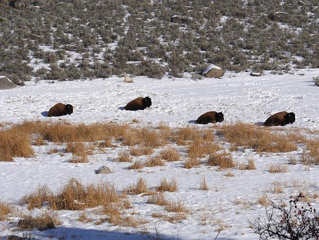 bison_chillin.jpg