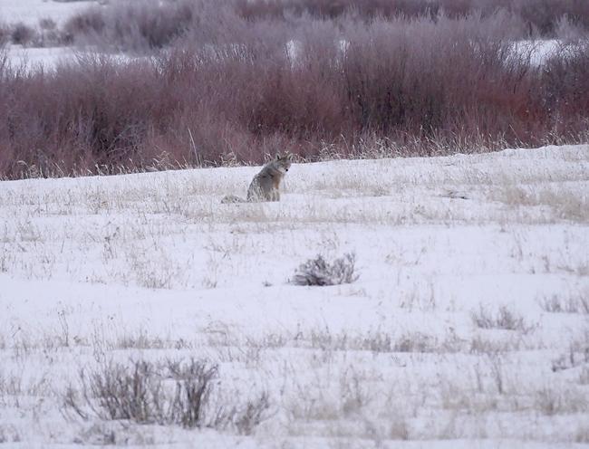 round_prarie_coyote.jpg