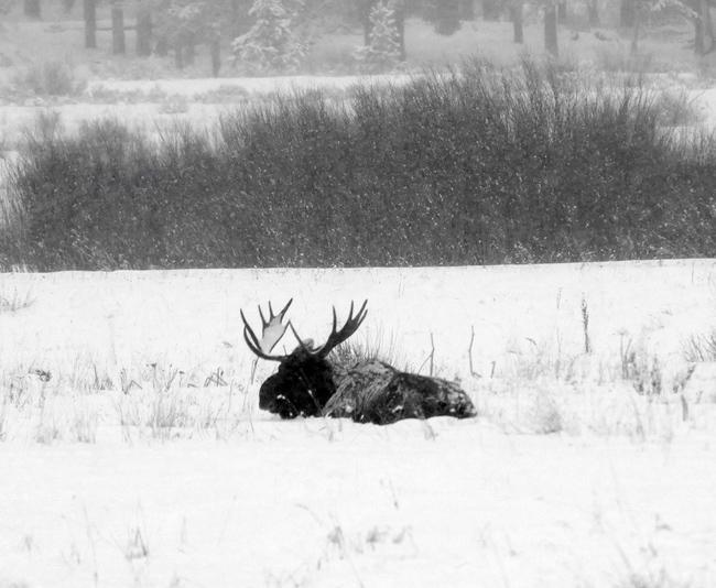 bull_moose_part1.jpg