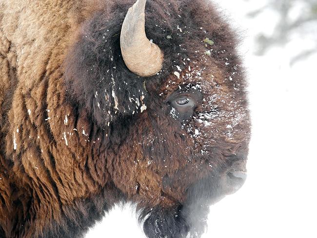 feb26_bison.jpg