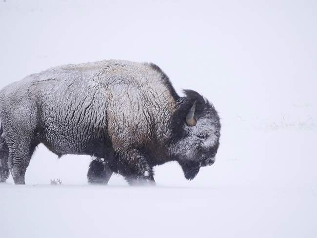 bison_in_the_wind.jpg