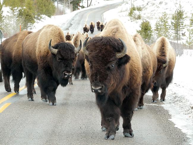 bison_jam.jpg