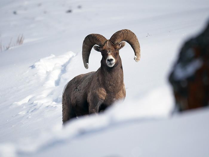 bighorn_sheep.jpg
