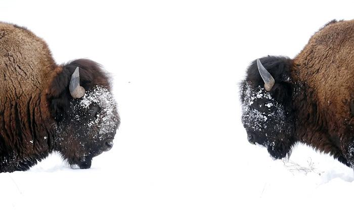 bison_conversation.jpg