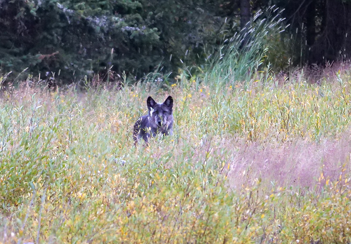 wolf_in_the_grass.jpg