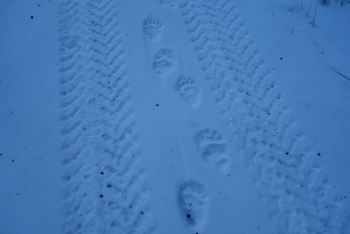 grizzly_bear_tracks.jpg