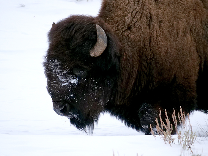 stoic_bison.jpg