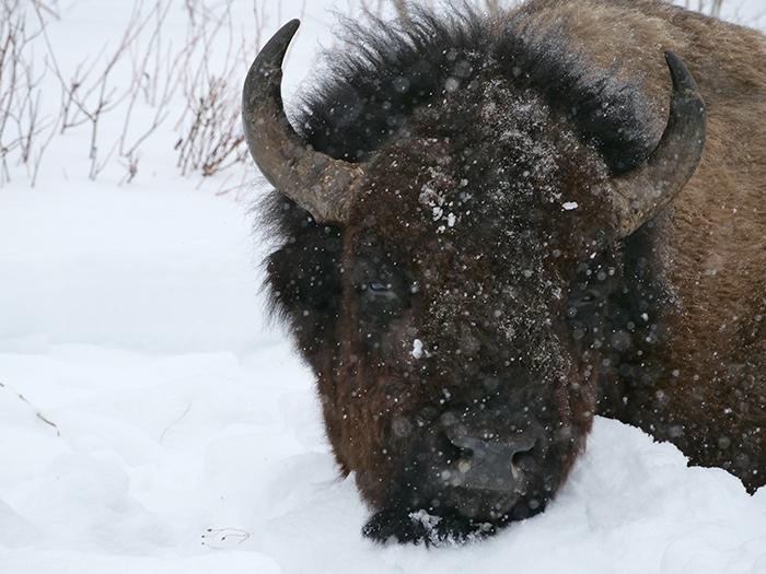 bison_jan17.jpg