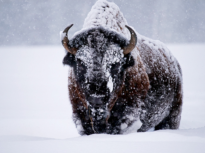 jan25_bison.jpg