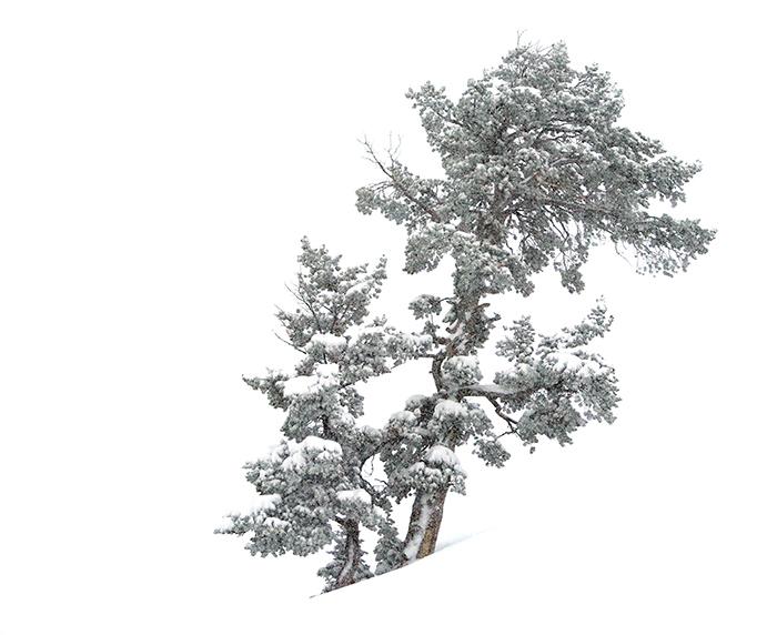 barronette_tree.jpg