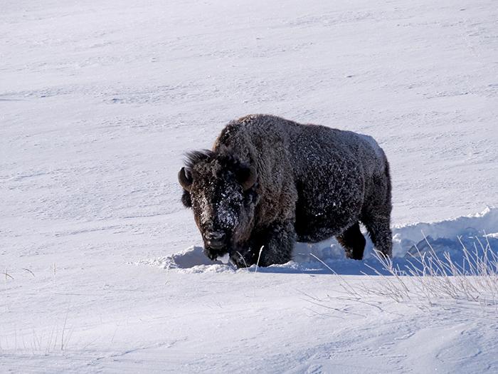 bison_rime.jpg