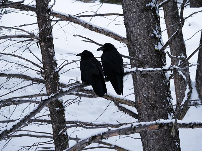 ravens_march6.jpg