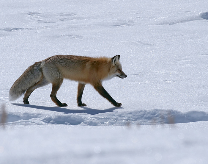 march22_fox.jpg