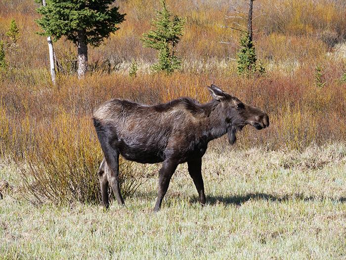 may26_moose.jpg