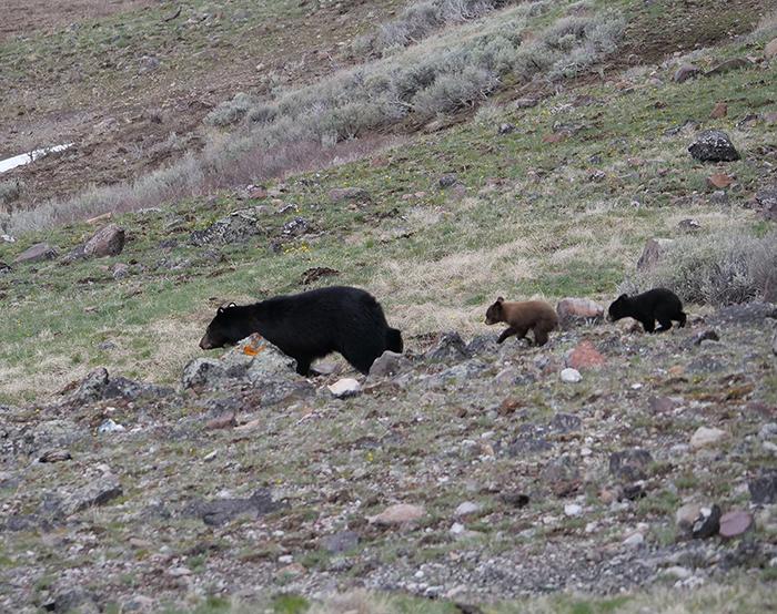3_bears_yellowstone.jpg