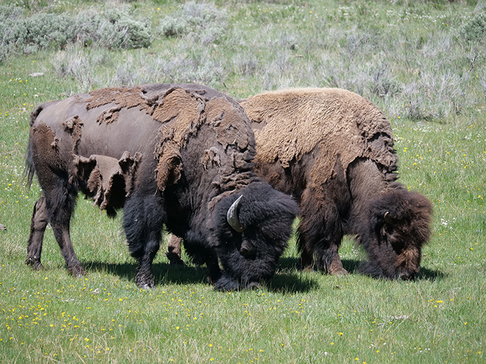 yellowstone_bison_in_spring.jpg