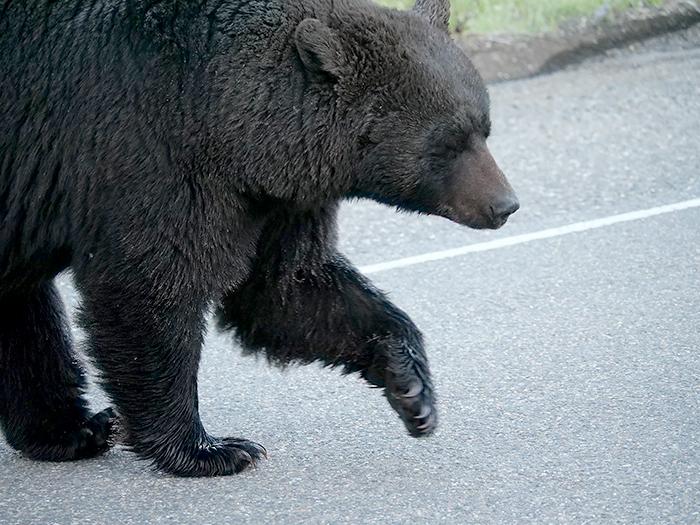 big_black_bear.jpg
