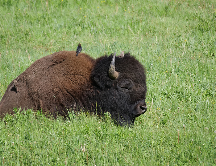 bison_with_birds.jpg