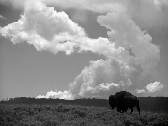 black_and_white_bison.jpg