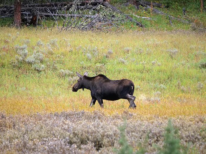sept7_moose.jpg