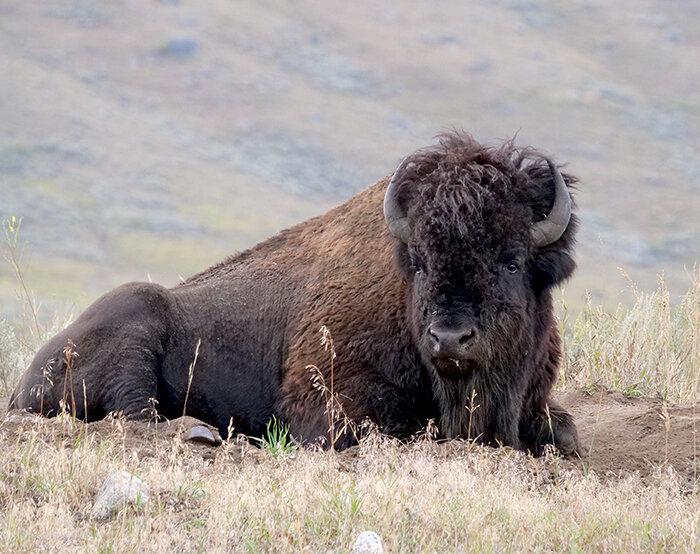 sept16_bison.jpg