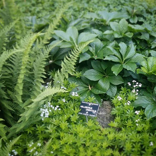 Aspérules, Hellebores et fougères.  #toutsimple  #jardindombre  #jardinbotanique  #paysagiste  #inspiration  #pèlerinageàlatêted'or