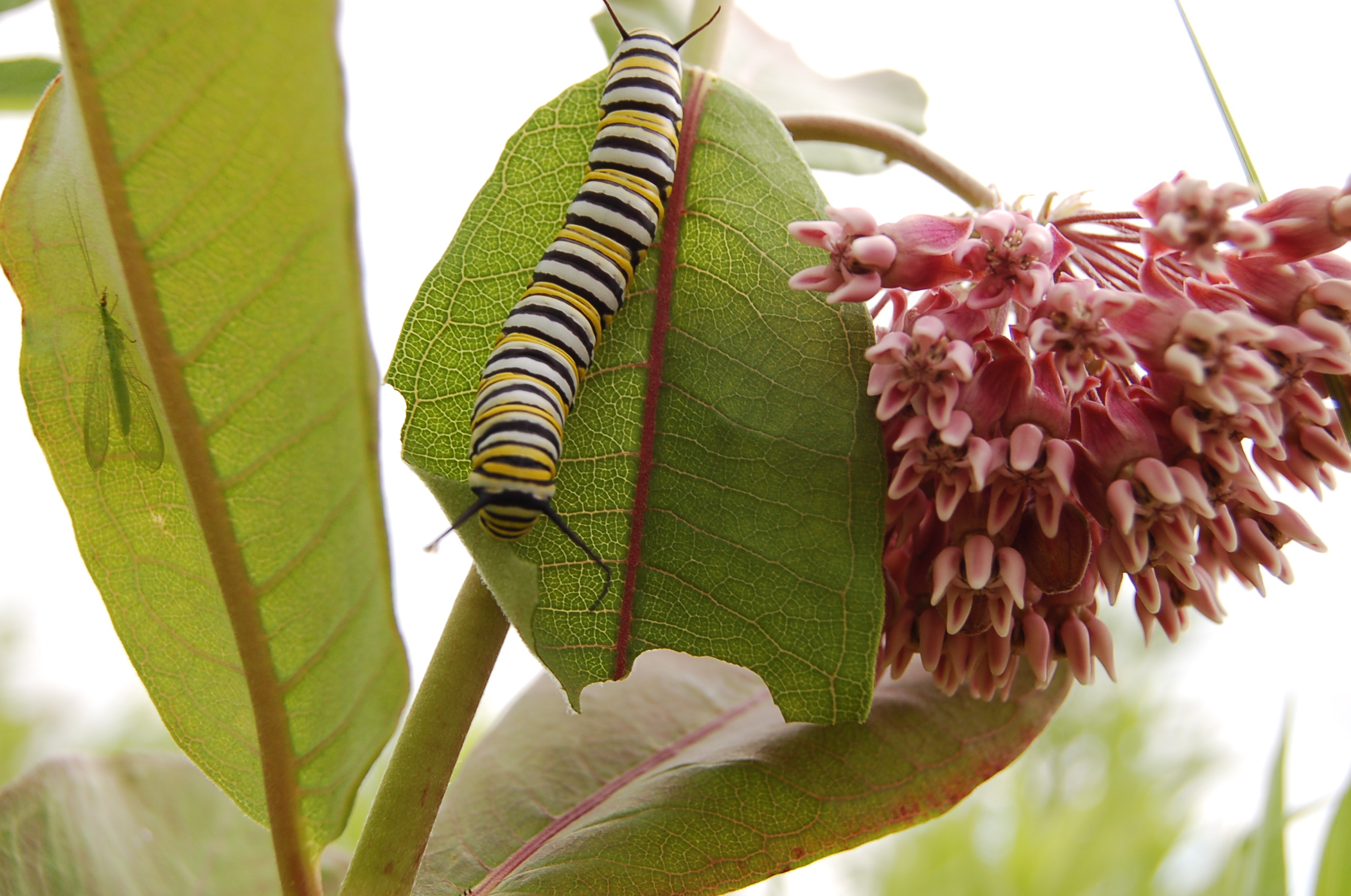 A monarch caterpillar finds food and shelter on common milkweed