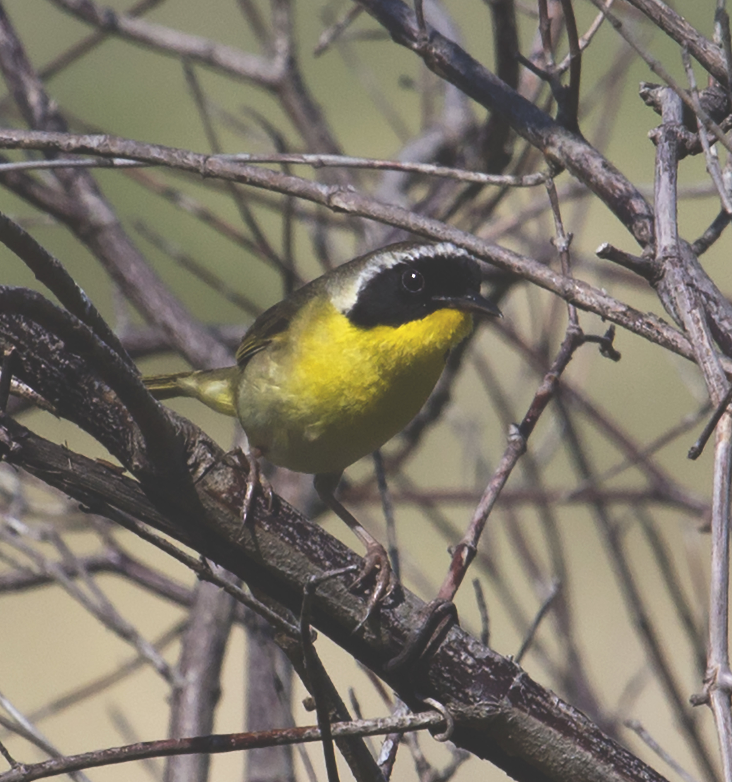 A male common yellowthroat shows off his bandit's mask