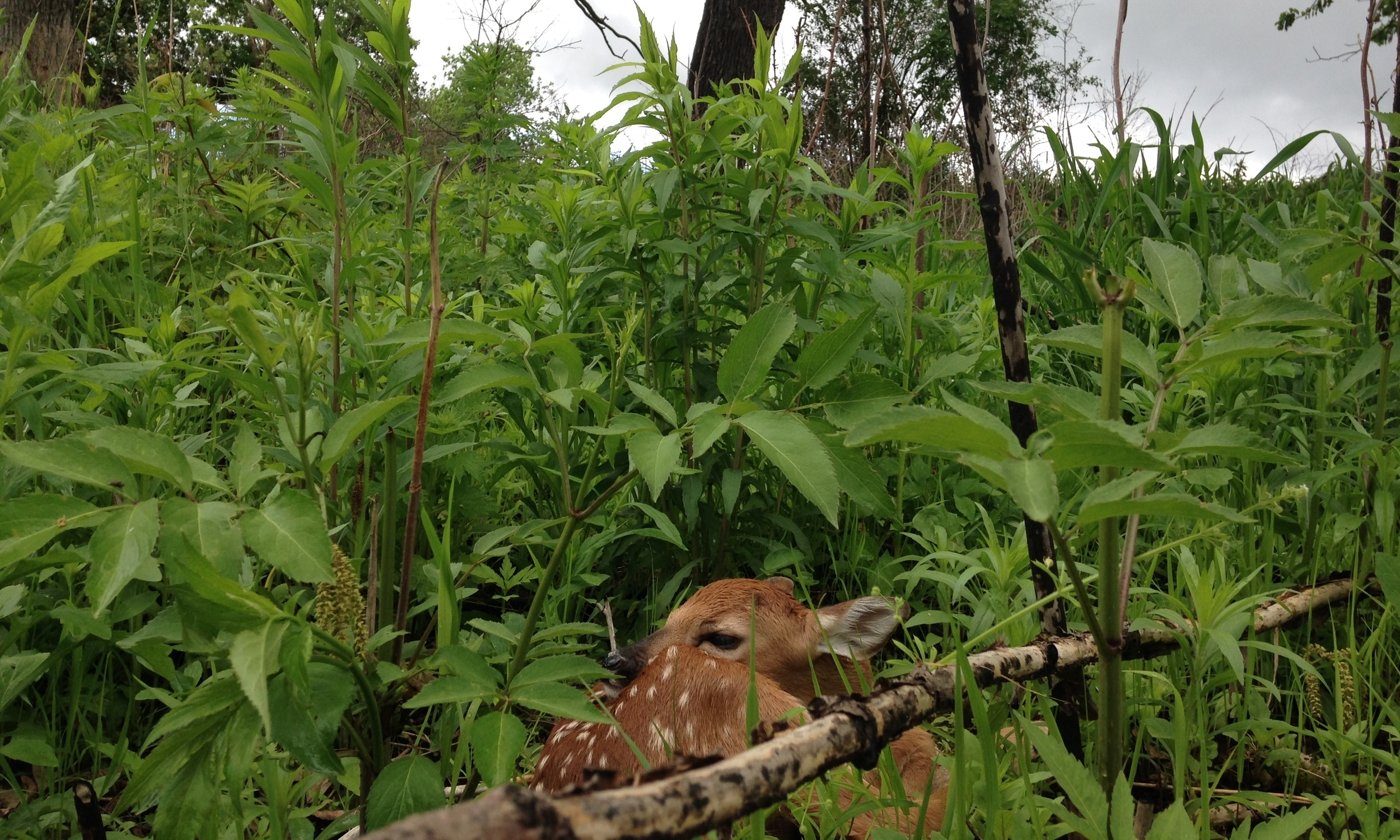 A whitetail fawn at rest in Faville Woods