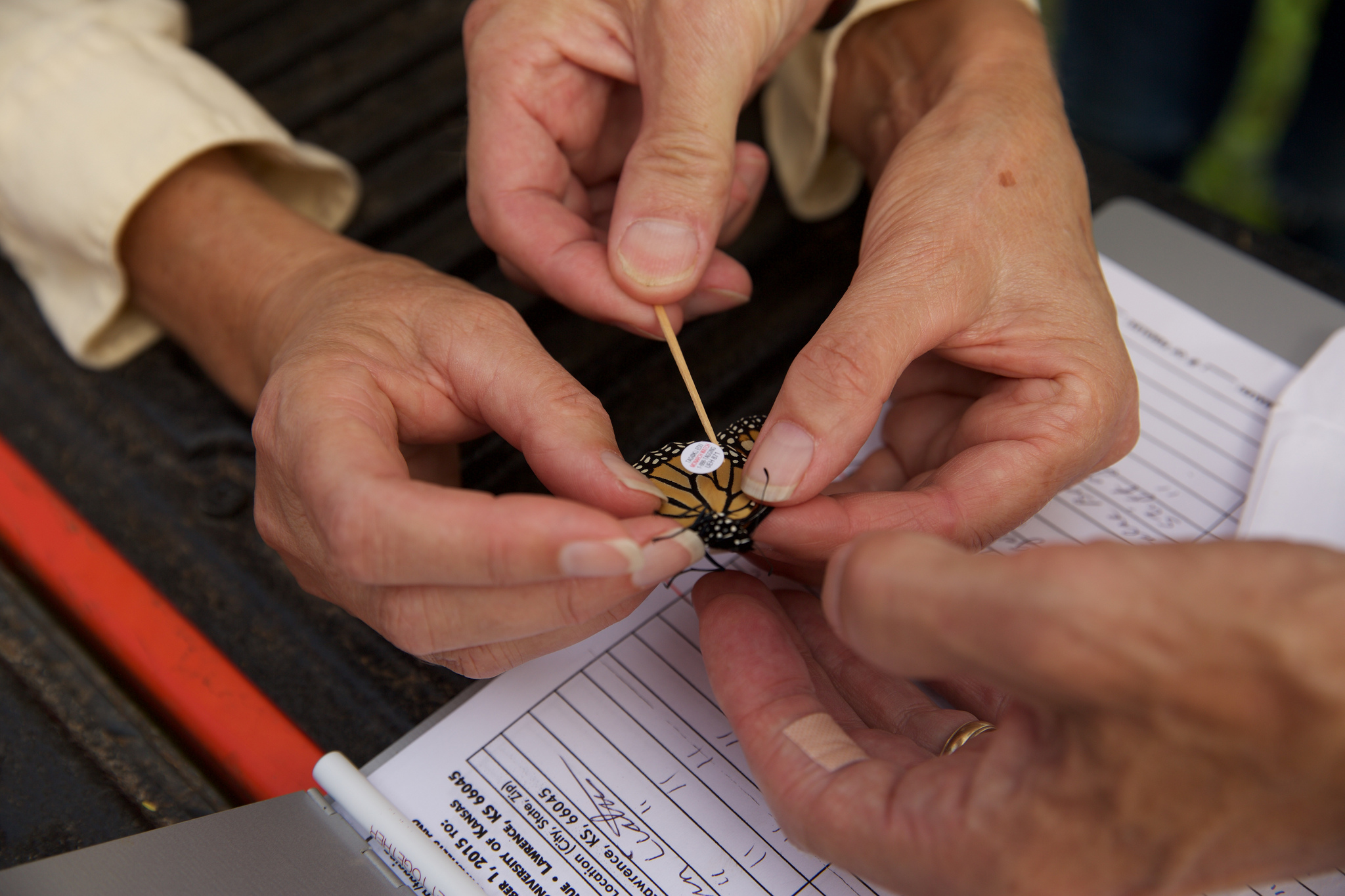 Madison Audubon members have been tagging monarch butterflies at Goose Pond Sanctuary for several years to assist with MonarchWatch data collection on the iconic migrating insect.  Photo by Arlene Koziol
