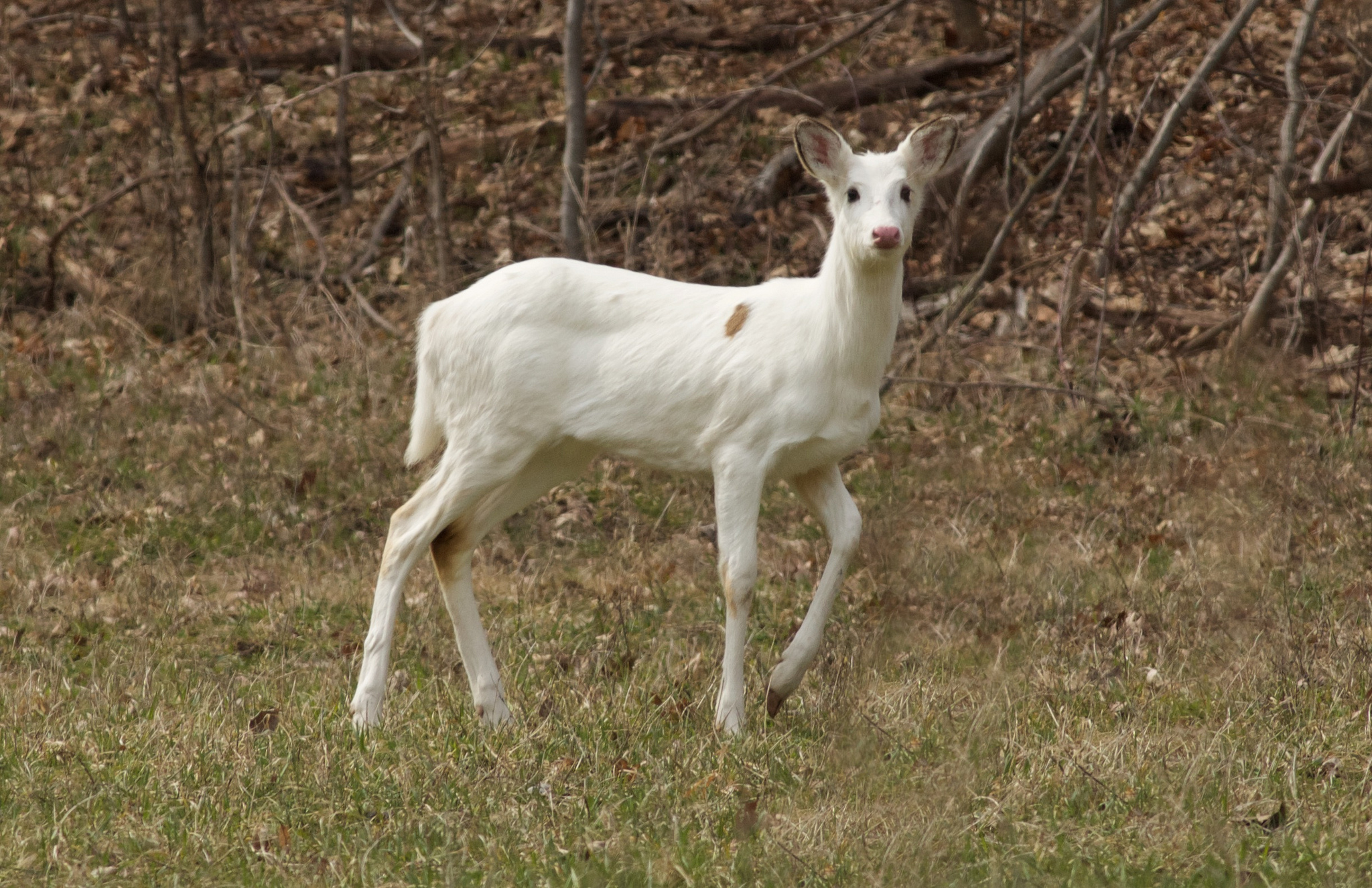Trail camera photos give Wisconsin scientists a better idea of wildlife populations in the state (like the presence of this rare white deer in Sauk County). As a result, the WI DNR gains data for management purposes.  Photo by Arlene Koziol