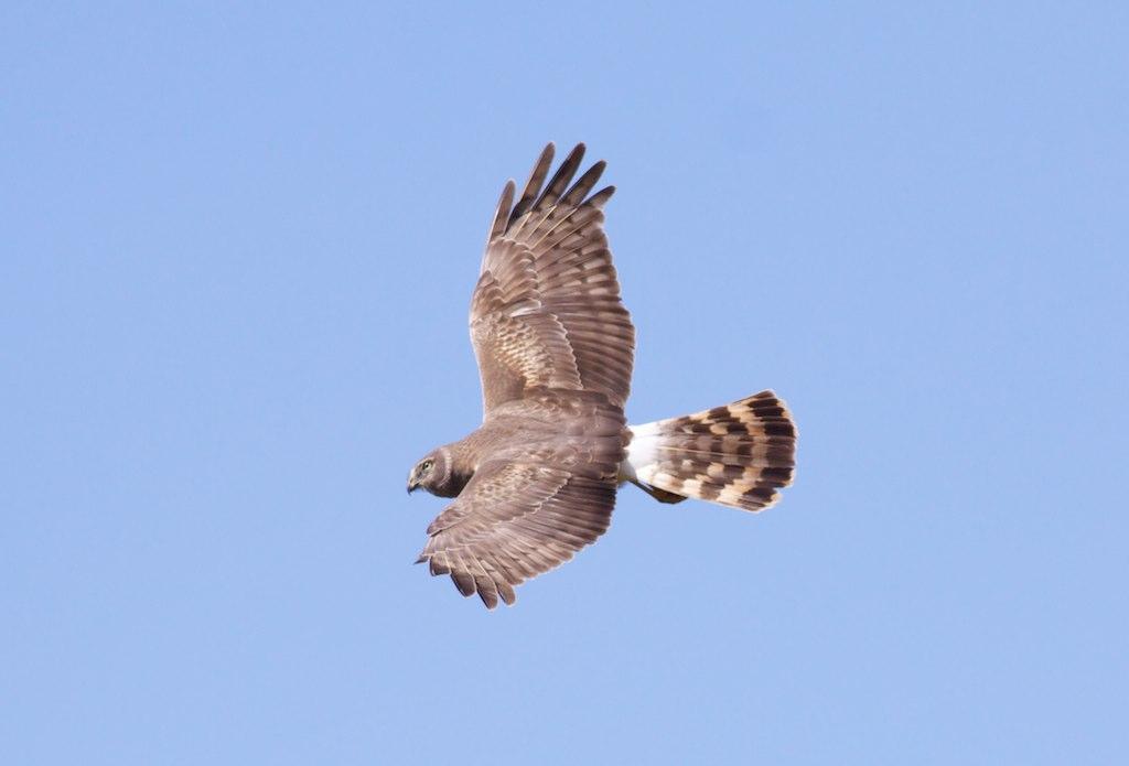 Northern Harrier by Arlene Koziol