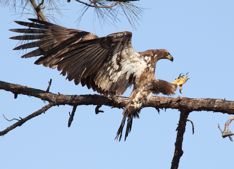 Juvenile bald eagle photo by Arlene Koziol