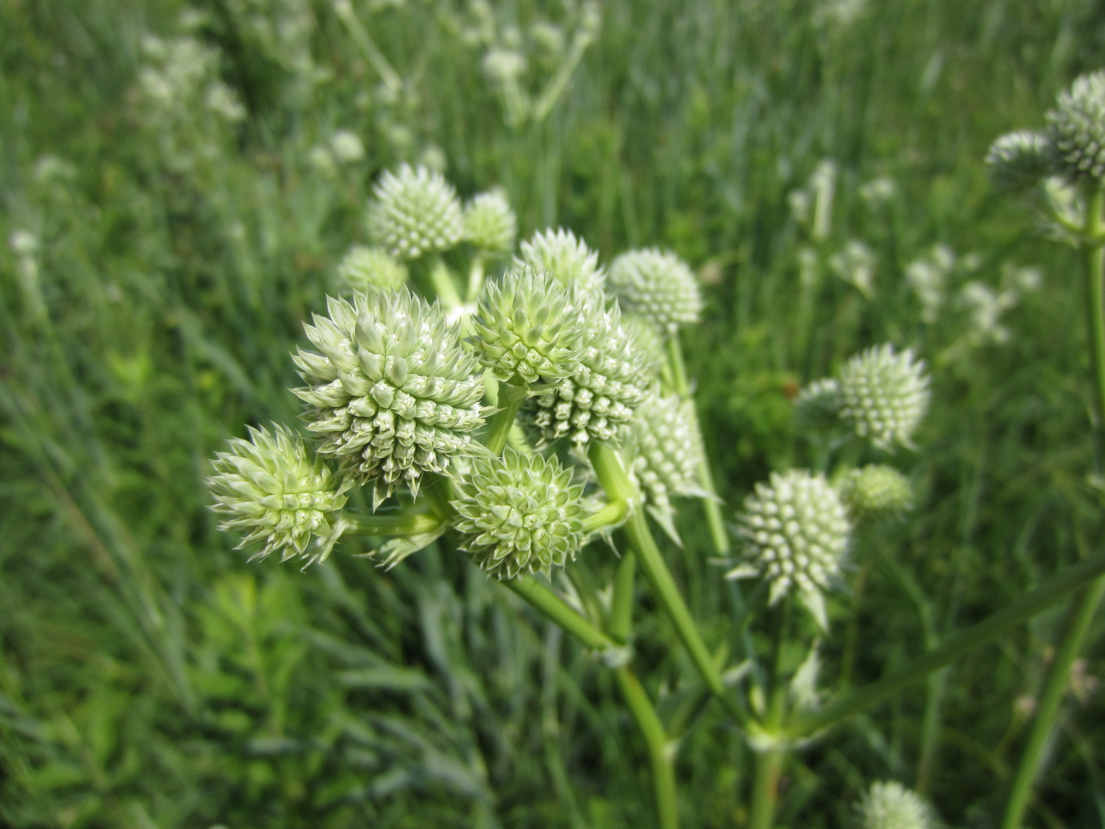 Rattlesnake master, a native plant that thrives in prairie remnants.