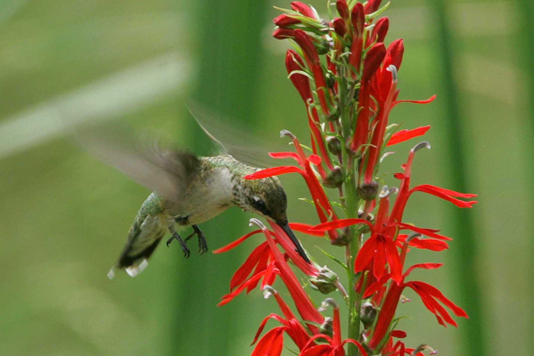 A ruby-throated hummingbird visits a native cardinal flower. Photo courtesy USFWS