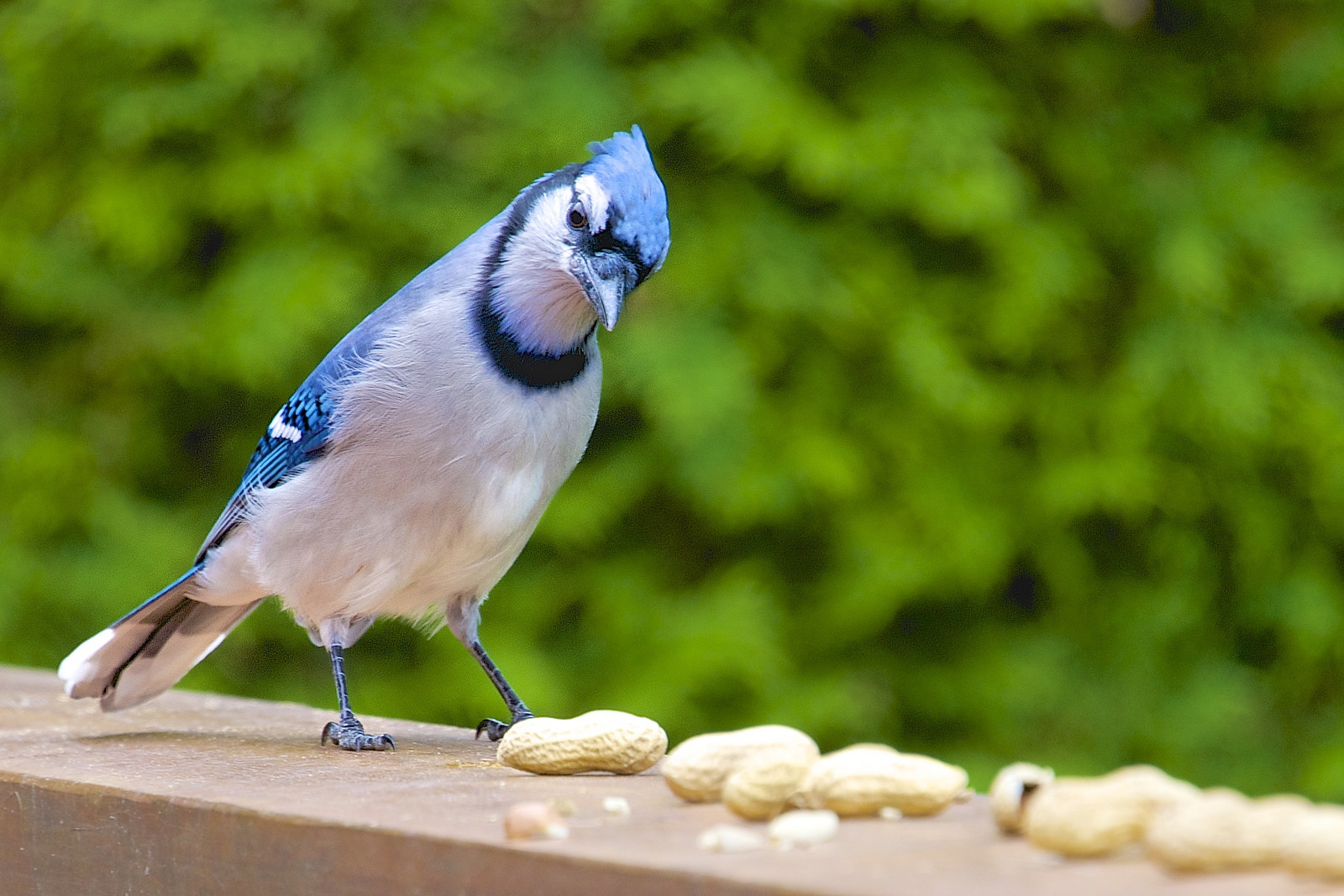 Blue jays and other birds love peanuts! Photo by Jamie McCaffrey
