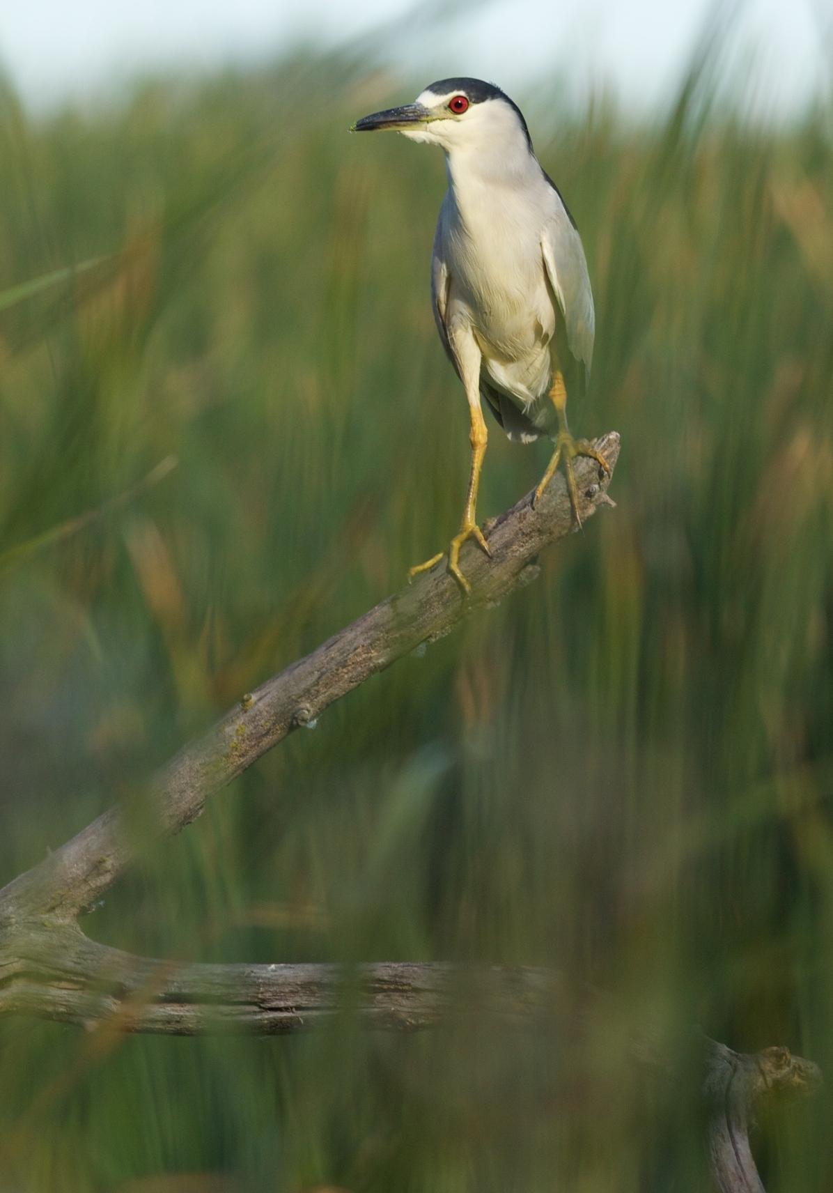 Black-crowned night heron.  Photo by Arlene Koziol