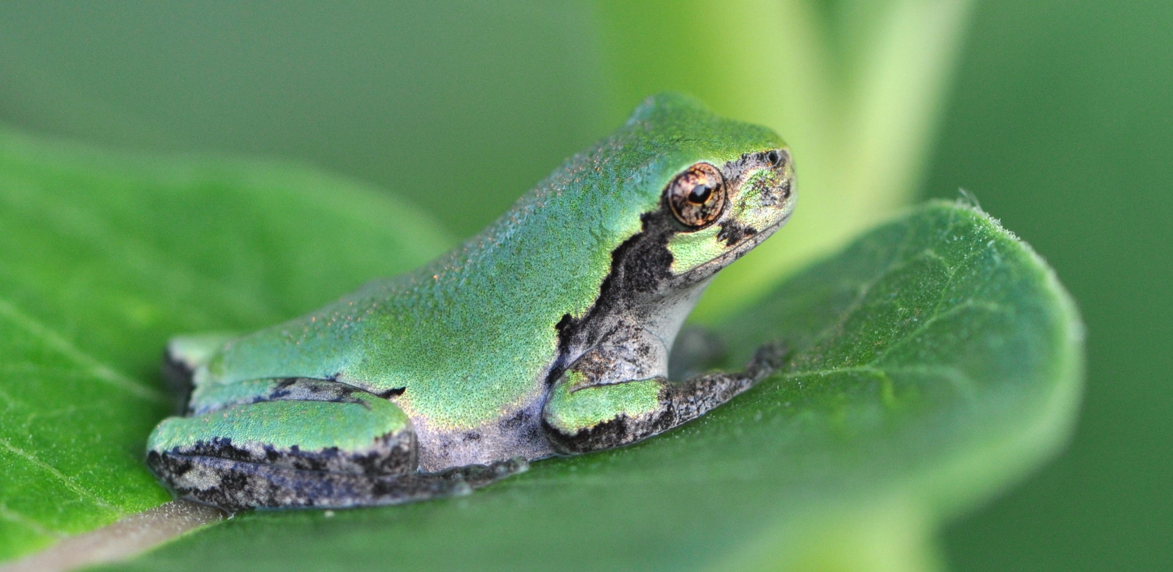 Eastern gray tree frog.  Photo by USFW Service.