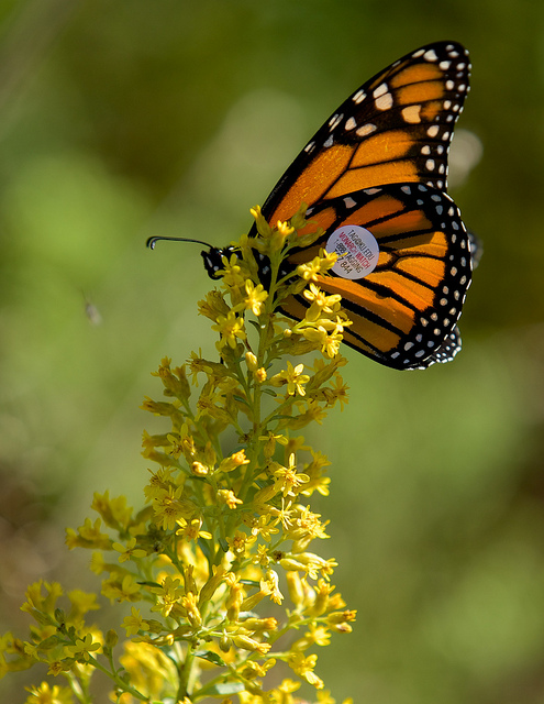 A newly-tagged monarch butterfly at Goose Pond Sanctuary. Photo by Arlene Koziol.