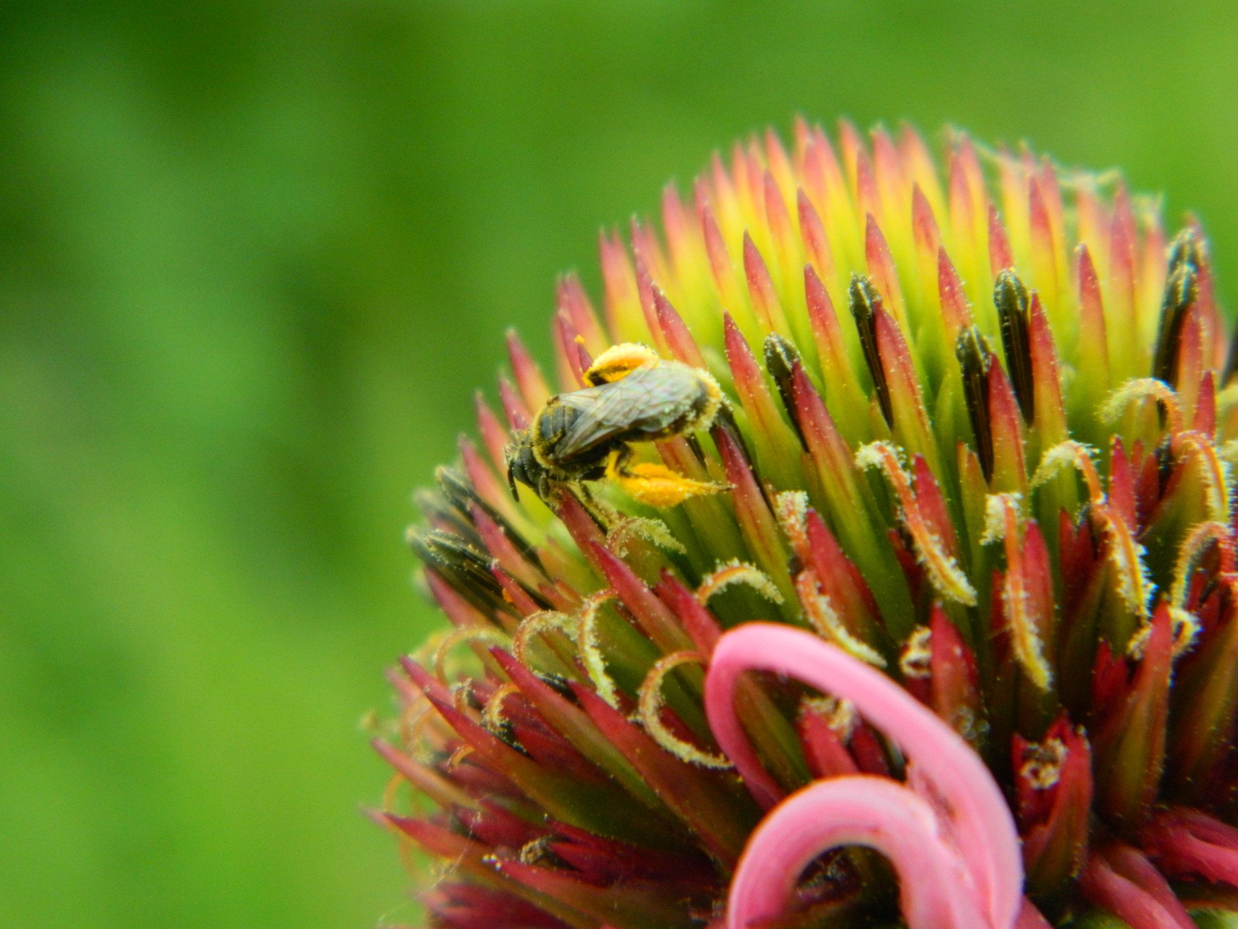 Bee on pale purple coneflower. Photo by Carolyn Byers