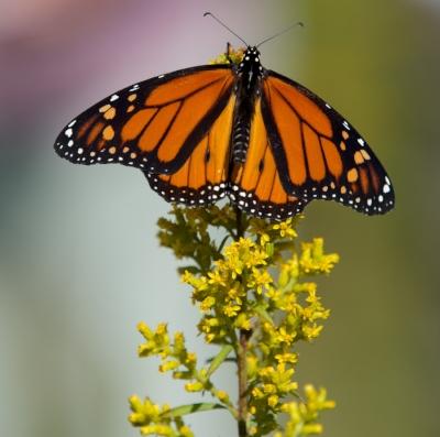 A monarch butterfly on showy goldenrod at Madison Audubon's Goose Pond Sanctuary. Photo by Arlene Koziol